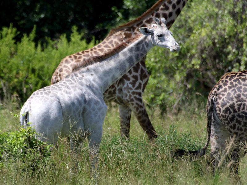 caters white giraffe