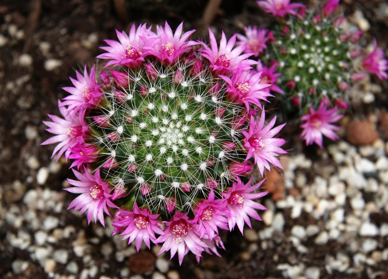kaktus kvety