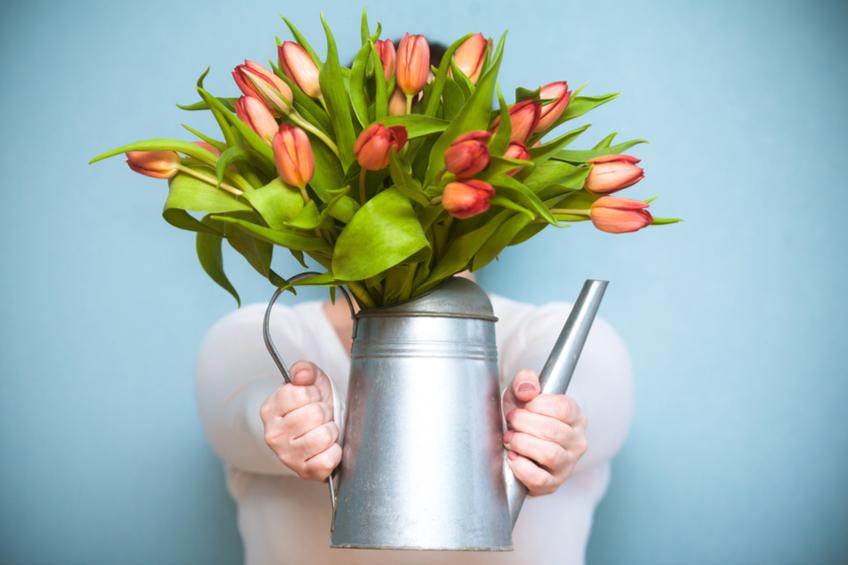 Tulipany pestovani