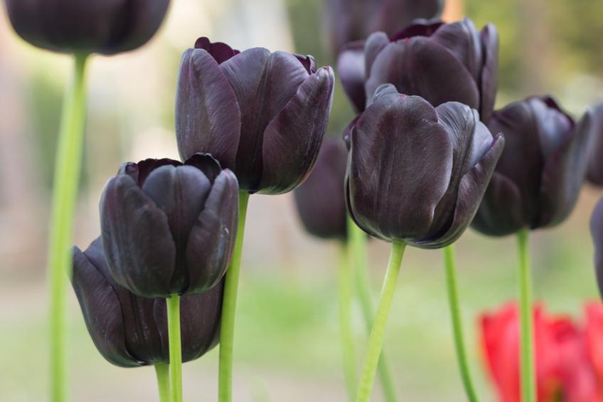 Cerne tulipany