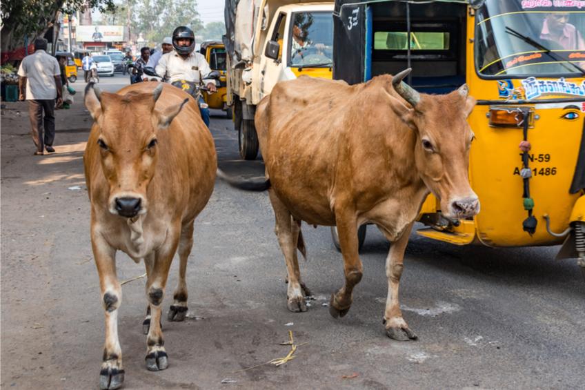Indicke kravy