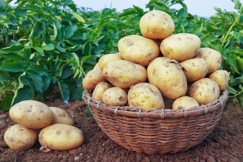 brambory pestovani