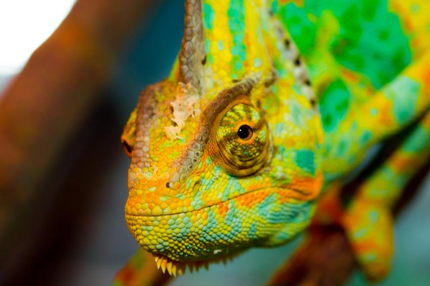 Zajimavost chameleon